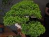 bonsai_23